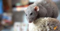 Крыса как подарок на Новый год