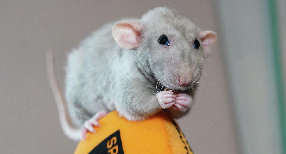 Символ нового года - Крыса