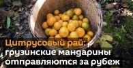 Цитрусовый рай: грузинские мандарины отправляются за рубеж - видео
