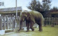 Говорящий слон Батыр