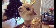 Милая альпака готовится к Новому году - мимишное видео