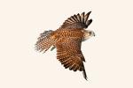 Сокол-балобан: птица 2020 года в Казахстане