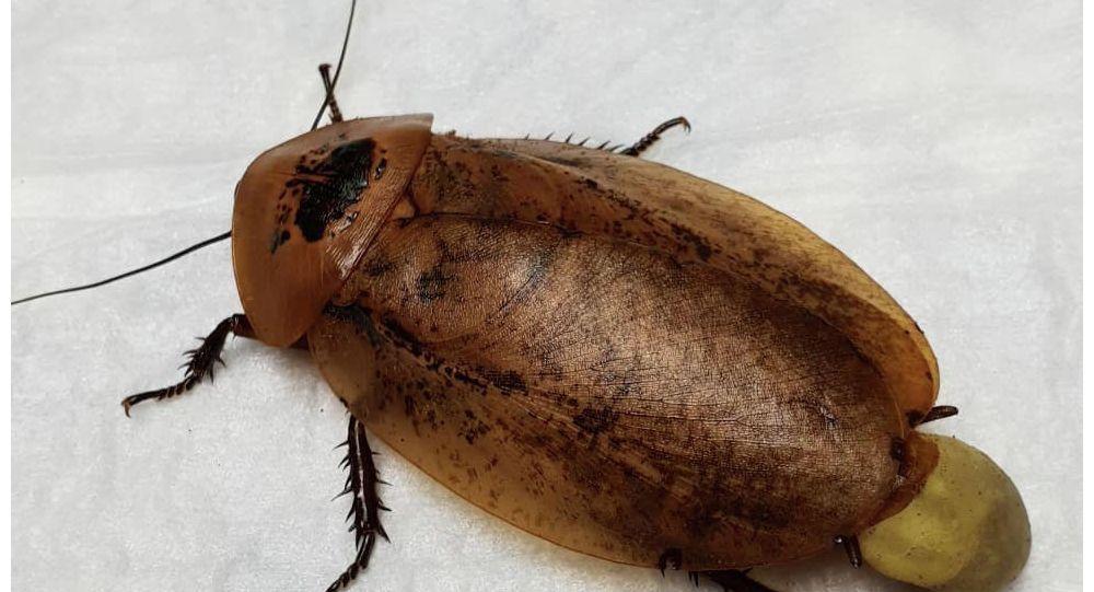 Самка таракана - архимандрита, которую прооперировали красноярские ветеринары.
