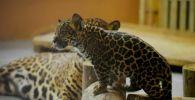 В Алматинском зоопарке родился маленький ягуар