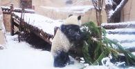 Панда в Московском зоопарке играет с заснеженной елкой