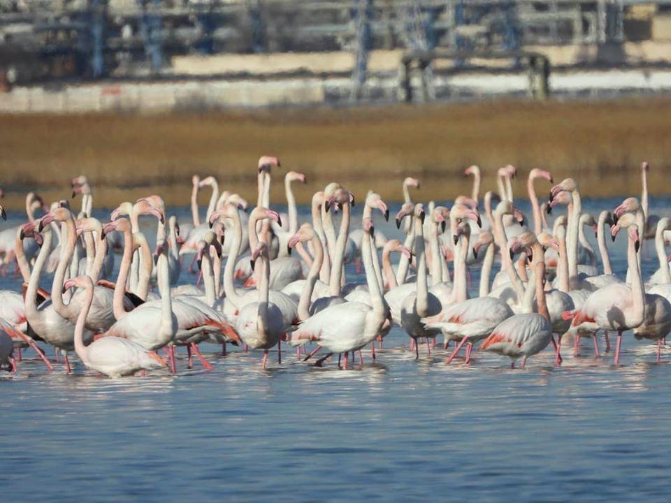 Розовые фламинго в Актау