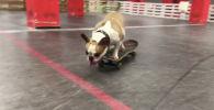 Бульдог по кличке Соня покоряет скейтпарки Челябинска - видео
