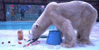 День полярного медведя видео с зоопарка - видео