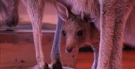 Любопытный кенгуренок сидит в сумке мамы в зоопарке Алматы - видео