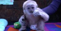 Забавная обезьянка обитает в зоопарке Алматы - видео