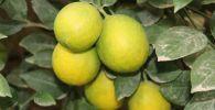 Жетысайский аграрий стал миллионером, выращивая лимон
