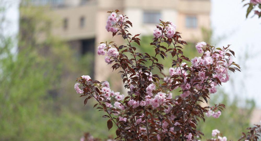 Цветущая вишня в Алматы