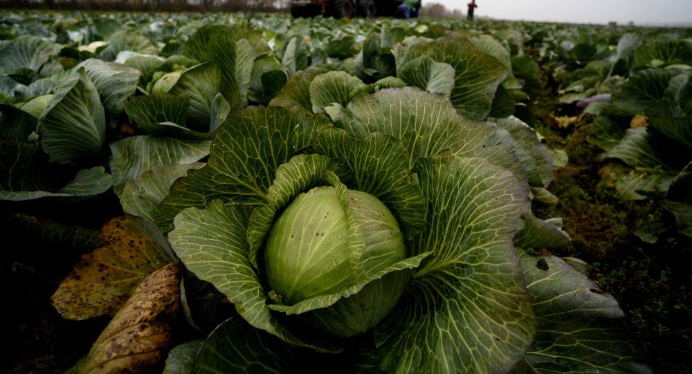 Рабочие собирают урожай капусты, иллюстративное фото