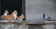 Три кота за оконной сеткой наблюдают за голубем на карнизе