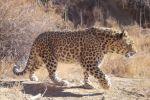 Леопард попал в фотоловушку в Устюртском заповеднике