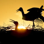 White storks are silhouetted during sunrise in Hortobagy, Hungary, Wednesday, May 13, 2020. According to a survey by the Hungarian Ornithological and Nature Conservation Society (MME), after decades of stability, the Hungarian white stork population has decreased by almost a quarter in the last five years.