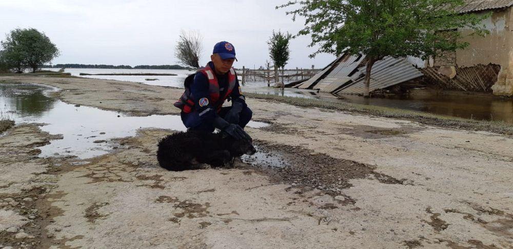 Спасатель и собака в зоне подтопления в Мактааральском районе