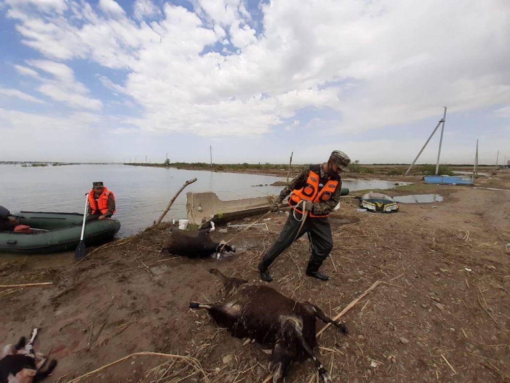 Спасатели вывозят из зоны подтопления в Мактааральском районе туши погибших животных