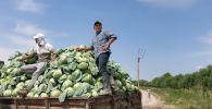 Егіс алқабынан жиналған қырыққабат, Түркістан облысы