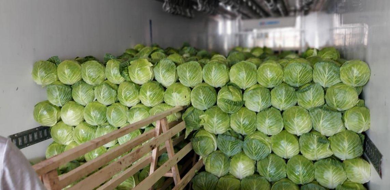 Урожай капусты в Туркестанской области
