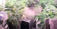 Астанчанина, который устроил плантацию конопли дома, задержали сотрудники КНБ