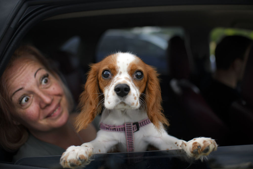 Buddy the dog peers from a vehicle before the start of a movie at a drive in cinema in Snagov, Romania, Monday, June 1, 2020. Romania further loosened the measures imposed during a nationwide lockdown in order to limit the spread of the COVID-19 infections, with museums, open air restaurants, cinemas and beaches opening for public on Monday.