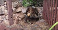 Слоновую черепаху Диего, спасшую свой вид от вымирания, выпустили на волю