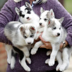 Siberian Husky breeder Christine Biddlecombe poses for a photograph with her five-week-old puppies at her home, in Tonbridge, Britain, June 4, 2020.  Picture taken June 4, 2020.  с