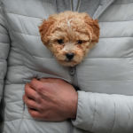 A man keeps a puppy warm in his jacket while watching a New Year's parade in Comanesti, northern Romania, Saturday, Dec. 30, 2017.