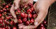 Сбор урожая черешни, архивное фото
