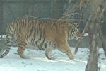 Толстые и ленивые – стая располневших тигров прогуливалась по вольеру в Китае