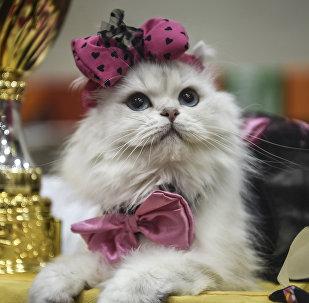 Архивное фото кошки на кошачей выставке