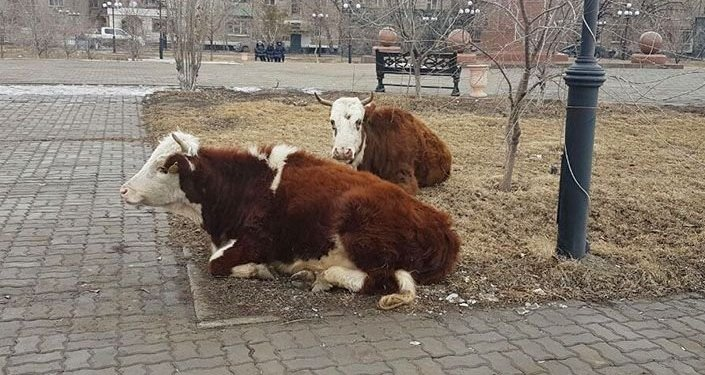 Коровы в центре Атырау