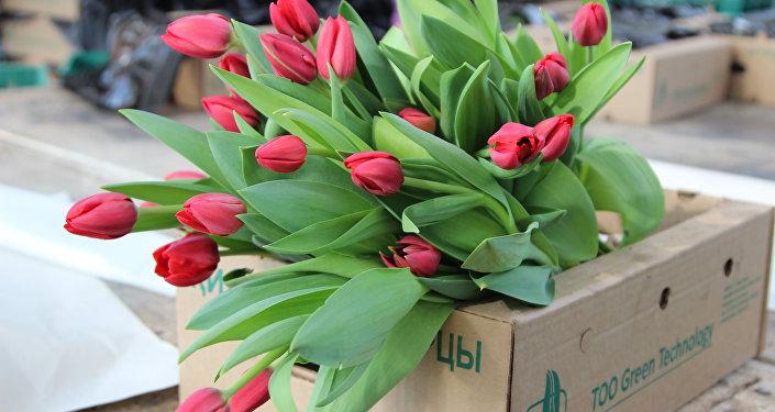 Тюльпаны из теплицы в Караганде