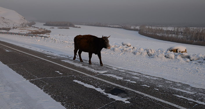 Корова на заснеженной дороге, фото из архива