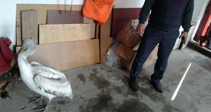 Пеликана по прозвищу Принц спасли в Павлодарской области