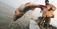 Судак в рыбацких сетях