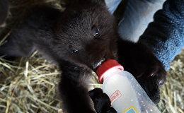Спасенные под Красноярском медвежата