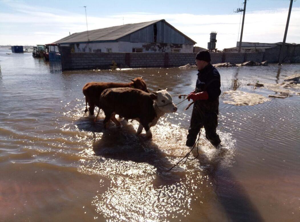 Эвакуация домашнего скота из затопленных районов