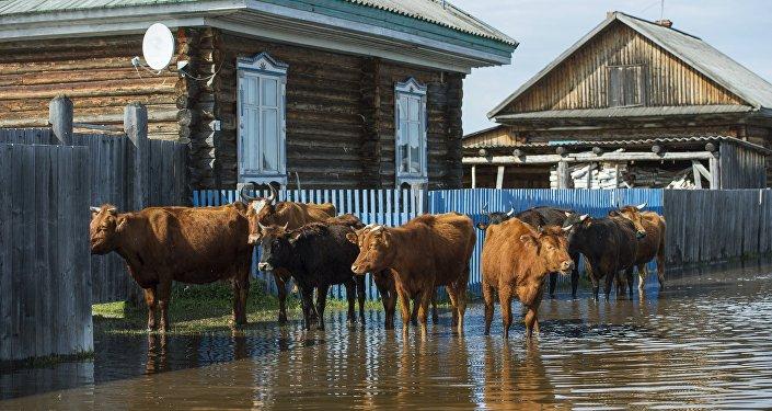 Коровы на улице поселка во время паводка, архивное фото