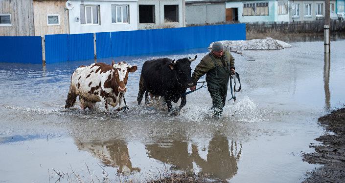 Житель поселка спасает домашний скот во время паводка, архивное фото