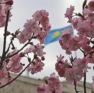 Флаг Казахстана виднеется на фоне цветущей сакуры в Алматы, архивное фото