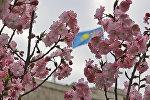 Сакура зацвела в Алматы