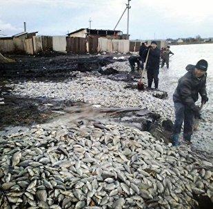 Мор рыбы под Петропавловском