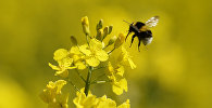 Пчела над цветком, архивное фото
