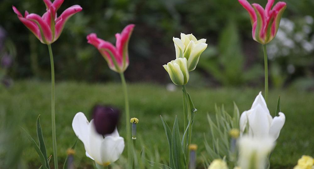 Тюльпаны на клумбе, архивное фото