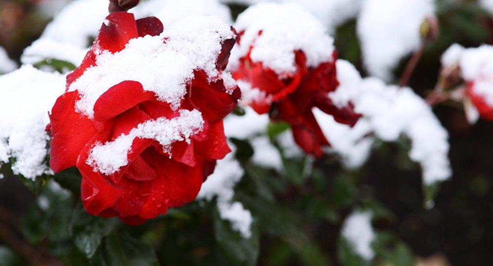 Розы в снегу