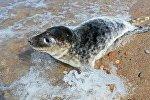Выпуск в море детеныша серого длинномордого тюленя