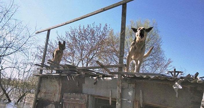 Собаки в подтопленных поселках Петропавловска