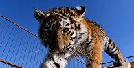 Архивное фото амурского тигренка